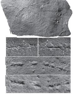 Fotó: A Plexus ricei névre keresztelt faj maradványa. A nyilak és a betűk a fosszíliára mutatnak (Forrás: Droser Lab, UC Riverside)