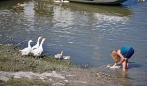 """Úszni tanítják a """"víziszonyos"""" kislibát..."""